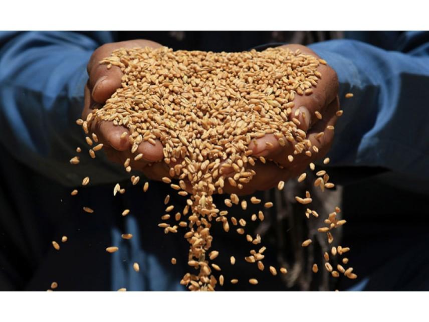 Уникални добиви от пшеница в Добруджа тази година