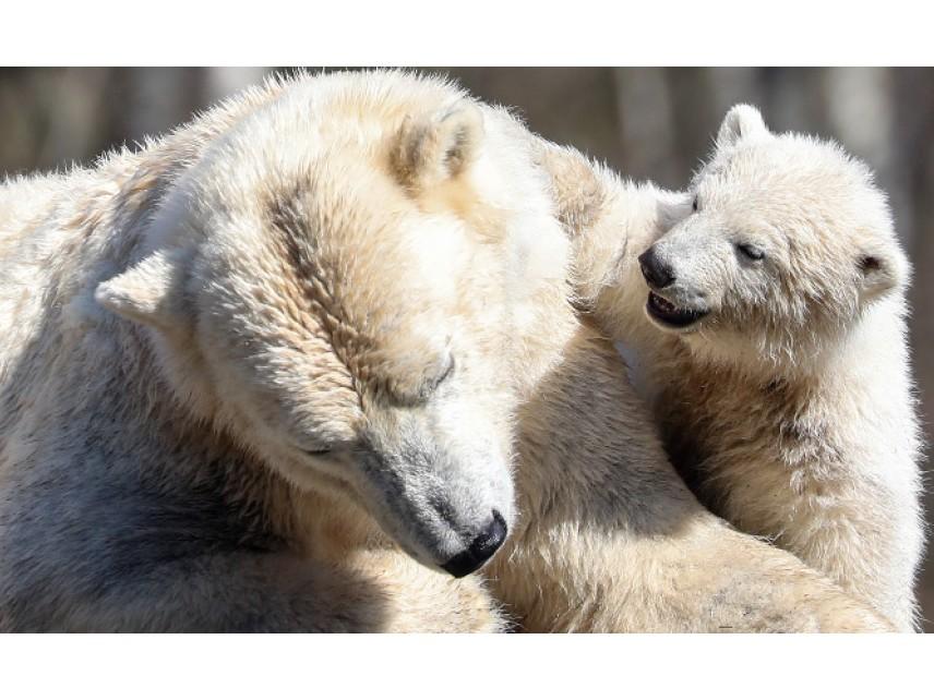 Топящият се лед променя менюто на белите мечки
